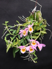 Miniature Orchids Orchids By Hausermann