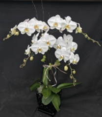 White Quadruple Stem Orchid Arrangment (For Chicagoland Delivery Only)
