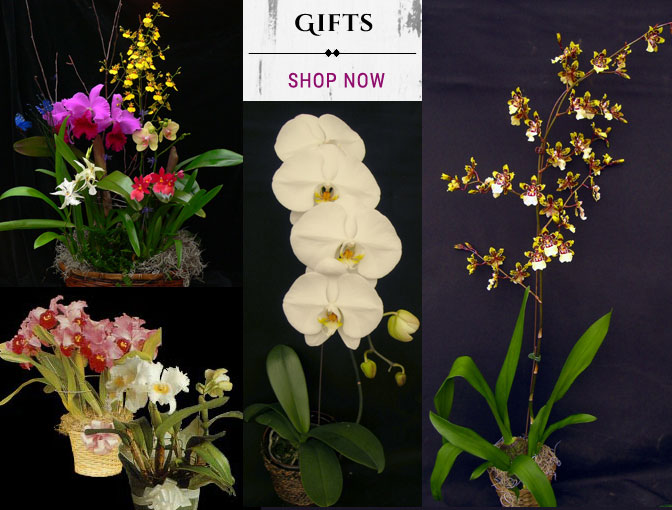 Buy Orchid Gifts and Gift Baskets